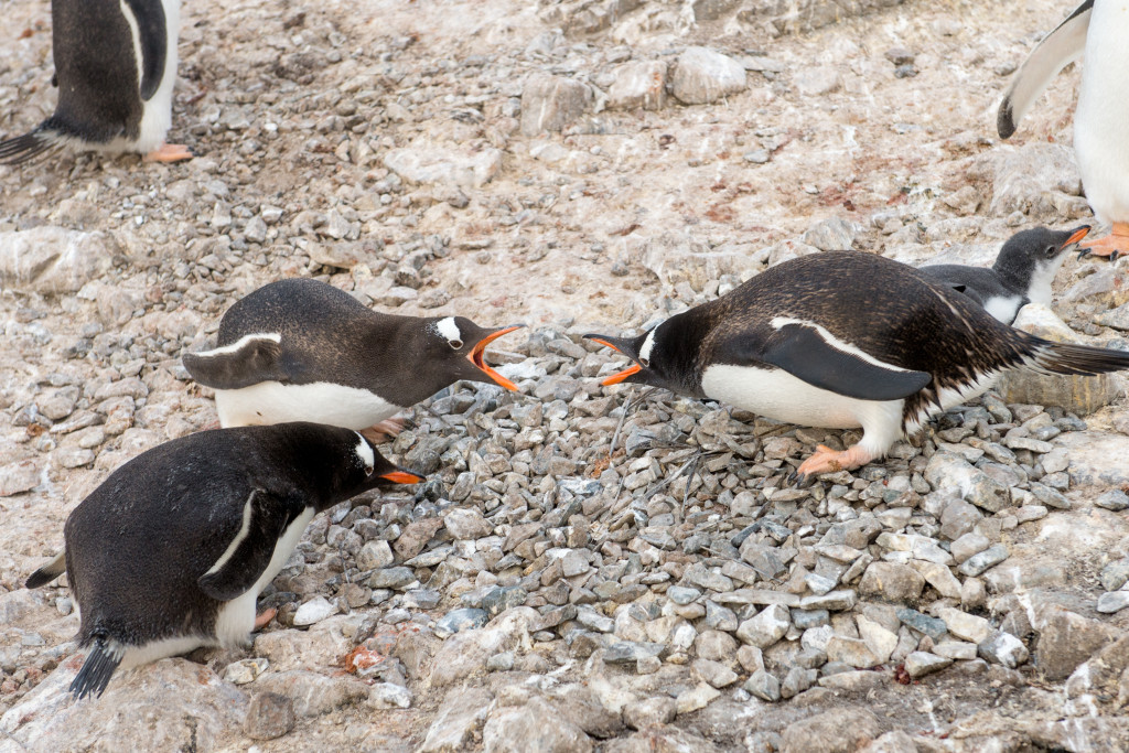 These penguins are fighting over a rock used to build a nest. In Antarctica, a rock is like a Penguin Valentine's gift.