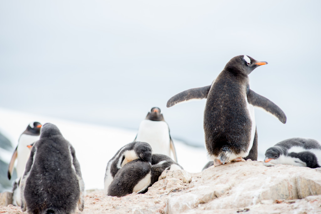 This gentoo penguin is showing off with a little shuffle.
